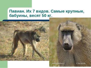 Павиан. Их 7 видов. Самые крупные, бабуины, весят 50 кг.
