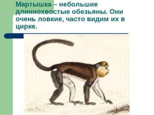 Мартышка – небольшие длиннохвостые обезьяны. Они очень ловкие, часто видим их