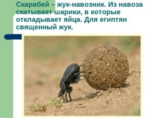 Скарабей – жук-навозник. Из навоза скатывает шарики, в которые откладывает яй
