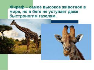 Жираф – самое высокое животное в мире, но в беге не уступает даже быстроногим