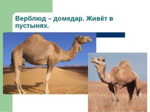 Верблюд – домедар. Живёт в пустынях.