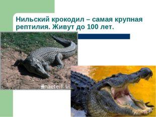 Нильский крокодил – самая крупная рептилия. Живут до 100 лет.