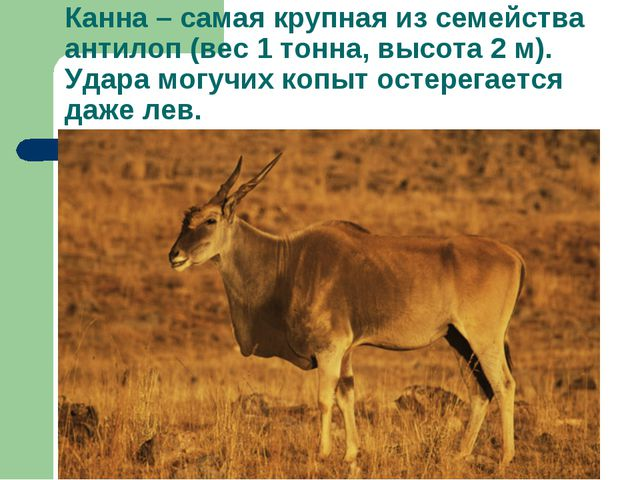 Канна – самая крупная из семейства антилоп (вес 1 тонна, высота 2 м). Удара м...