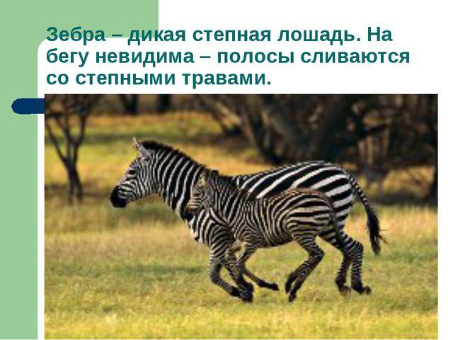 Зебра – дикая степная лошадь. На бегу невидима – полосы сливаются со степными...