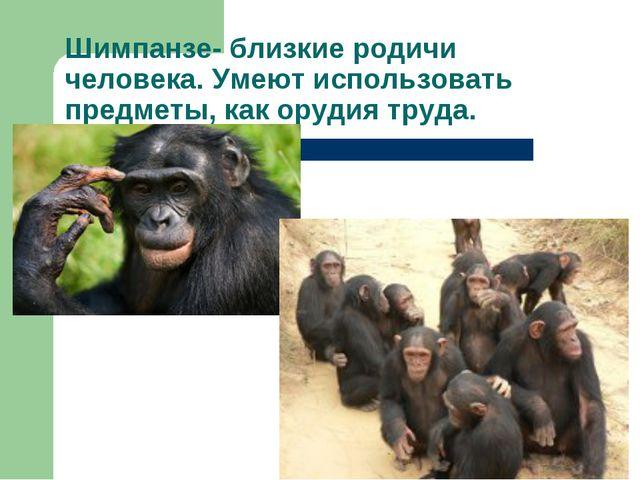 Шимпанзе- близкие родичи человека. Умеют использовать предметы, как орудия тр...