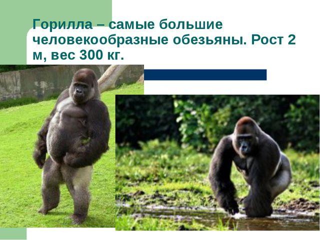 Горилла – самые большие человекообразные обезьяны. Рост 2 м, вес 300 кг.