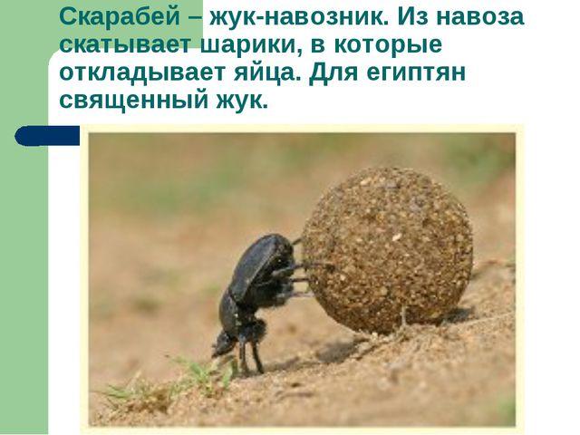 Скарабей – жук-навозник. Из навоза скатывает шарики, в которые откладывает яй...
