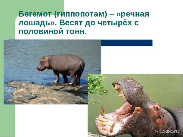 Бегемот (гиппопотам) – «речная лошадь». Весят до четырёх с половиной тонн.