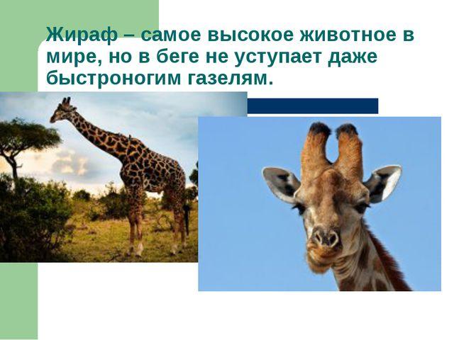 Жираф – самое высокое животное в мире, но в беге не уступает даже быстроногим...