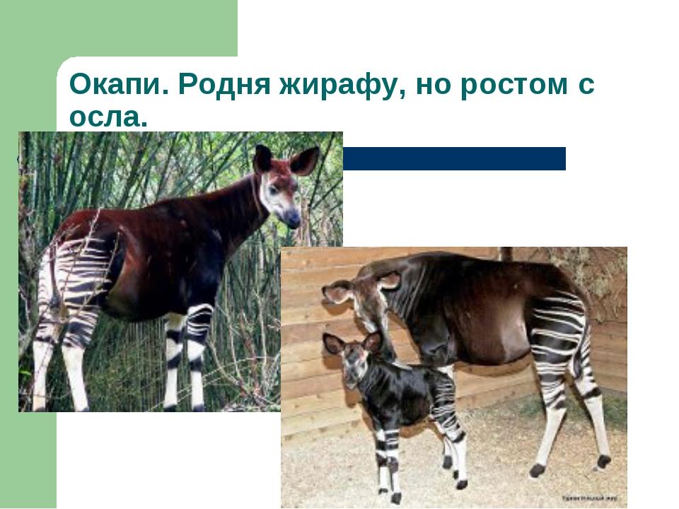 Окапи. Родня жирафу, но ростом с осла.