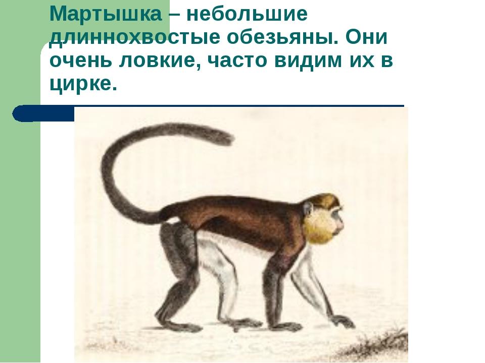 Мартышка – небольшие длиннохвостые обезьяны. Они очень ловкие, часто видим их...
