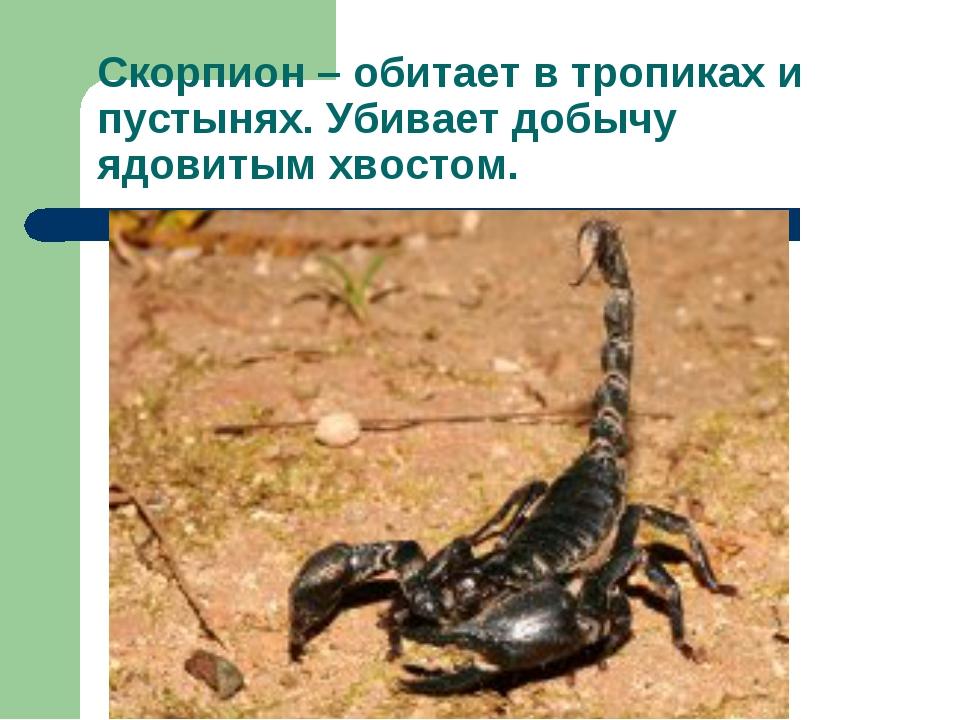 Скорпион – обитает в тропиках и пустынях. Убивает добычу ядовитым хвостом.