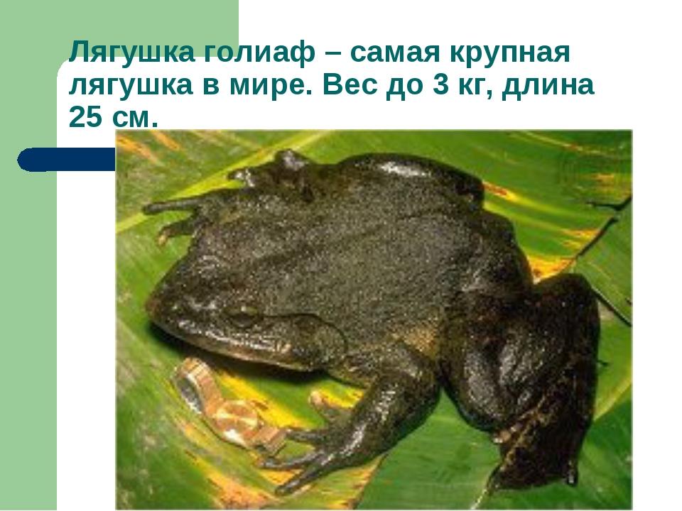 Лягушка голиаф – самая крупная лягушка в мире. Вес до 3 кг, длина 25 см.