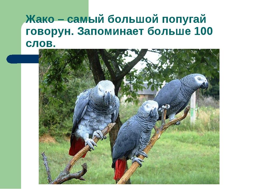 Жако – самый большой попугай говорун. Запоминает больше 100 слов.