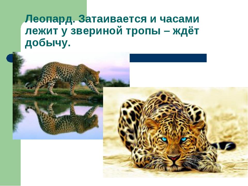 Леопард. Затаивается и часами лежит у звериной тропы – ждёт добычу.