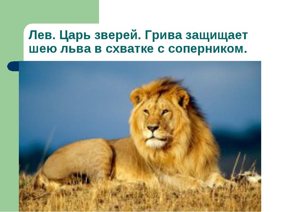 Лев. Царь зверей. Грива защищает шею льва в схватке с соперником.