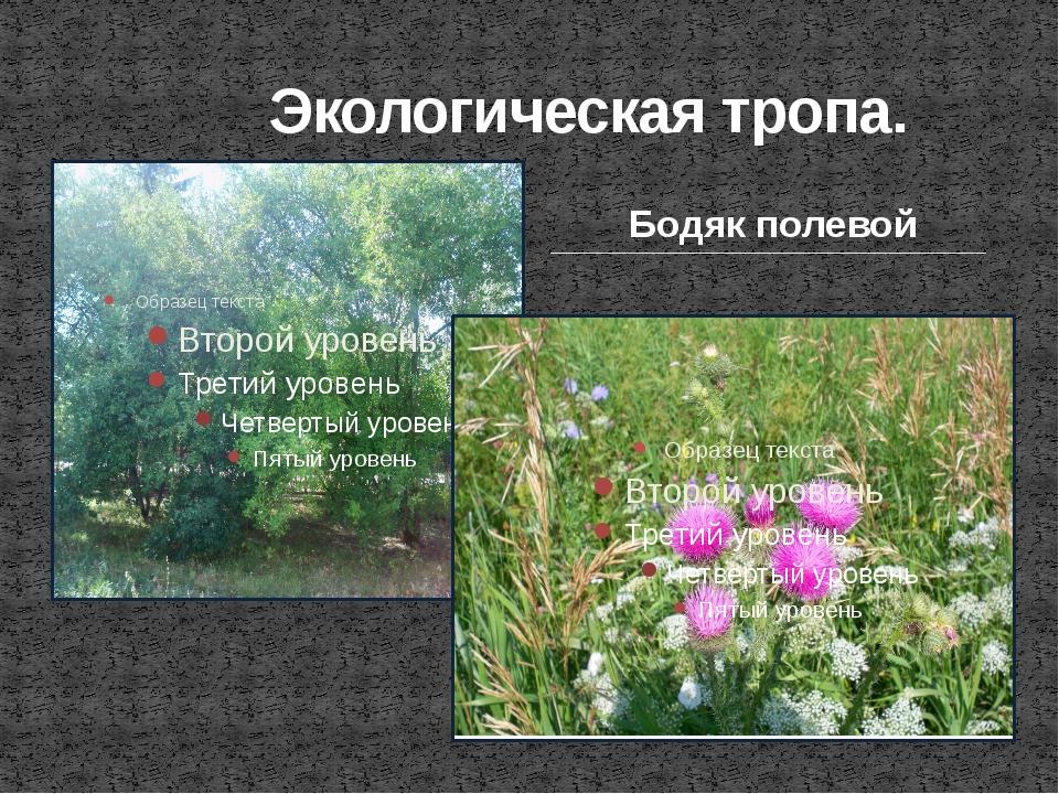 Экологическая тропа. Бодяк полевой