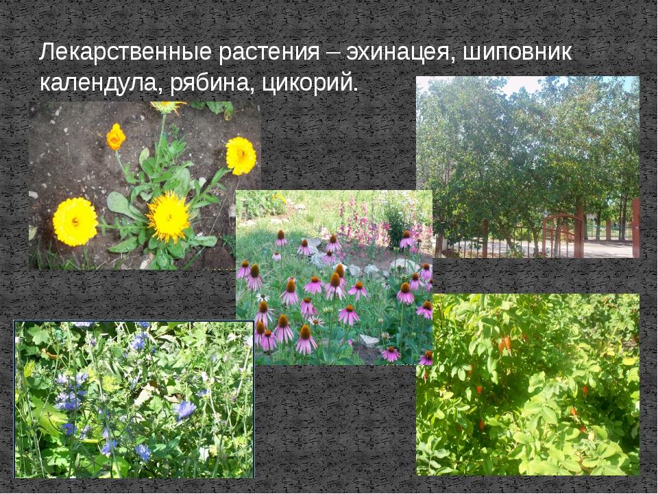 Лекарственные растения – эхинацея, шиповник календула, рябина, цикорий.