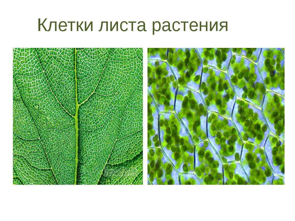 Клетки листа растения