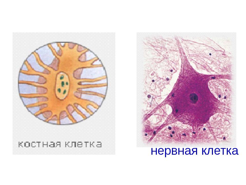 нервная клетка