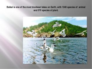 Baikal is one of the most biodiesel lakes on Earth, with 1340 species of anim
