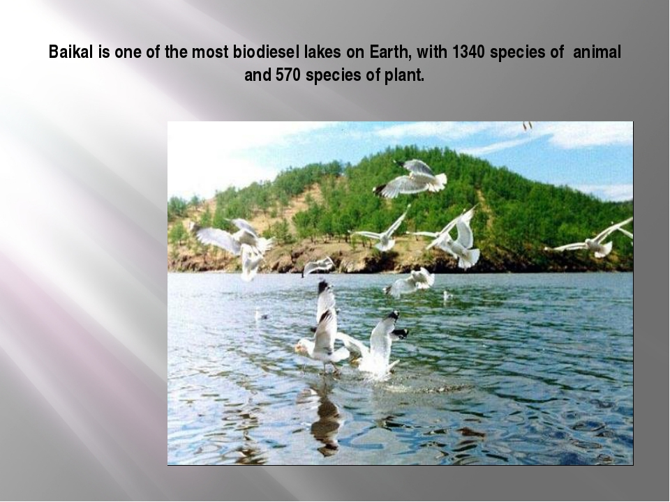 Baikal is one of the most biodiesel lakes on Earth, with 1340 species of anim...