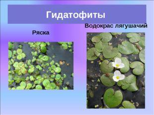 Ряска Гидатофиты Водокрас лягушачий