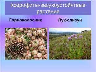 Горноколосник Ксерофиты-засухоустойчтвые растения Лук-слизун