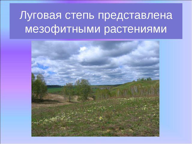 Луговая степь представлена мезофитными растениями