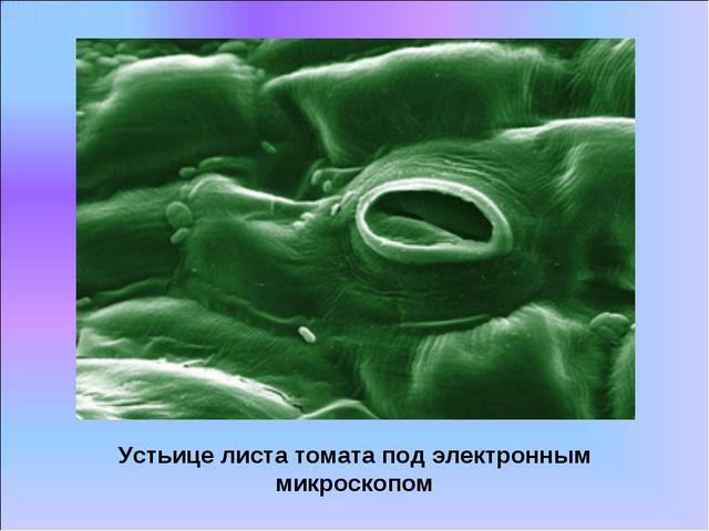 Устьице листа томата под электронным микроскопом
