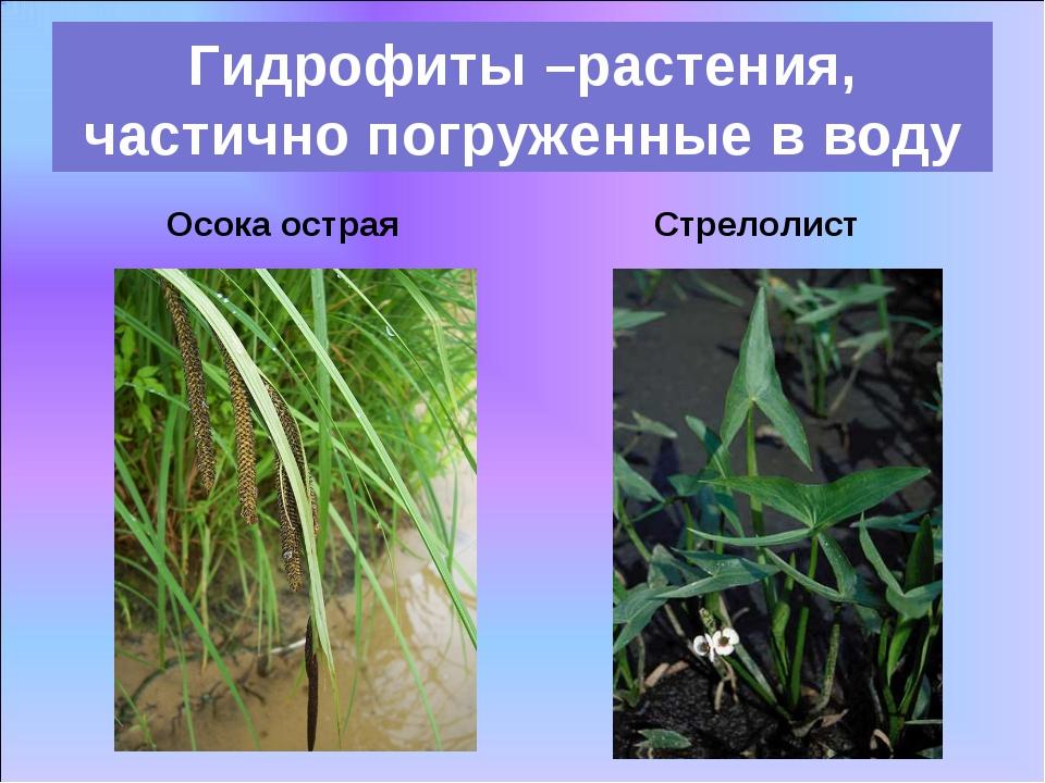 Осока острая Гидрофиты –растения, частично погруженные в воду Стрелолист