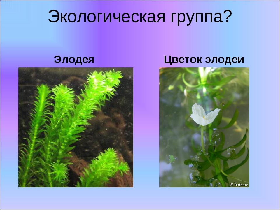 Элодея Экологическая группа? Цветок элодеи