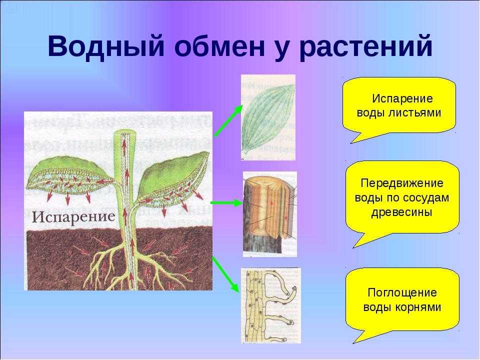 Водный обмен у растений Испарение воды листьями Поглощение воды корнями Перед...