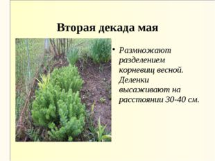 Вторая декада мая Размножают разделением корневищ весной. Деленки высаживают