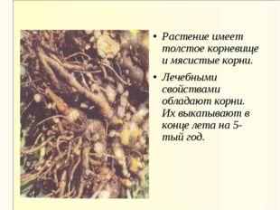 Растение имеет толстое корневище и мясистые корни. Лечебными свойствами облад