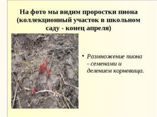 На фото мы видим проростки пиона (коллекционный участок в школьном саду - кон