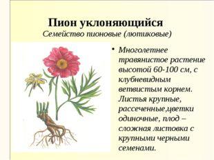 Пион уклоняющийся Семейство пионовые (лютиковые) Многолетнее травянистое раст