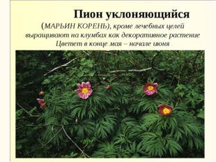 Пион уклоняющийся (МАРЬИН КОРЕНЬ), кроме лечебных целей выращивают на клумба