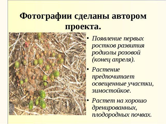 Появление первых ростков развития родиолы розовой (конец апреля). Растение пр...