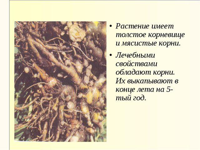 Растение имеет толстое корневище и мясистые корни. Лечебными свойствами облад...