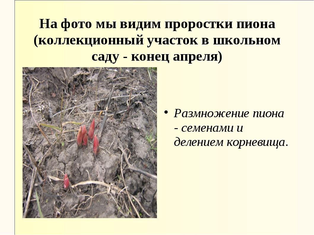 На фото мы видим проростки пиона (коллекционный участок в школьном саду - кон...