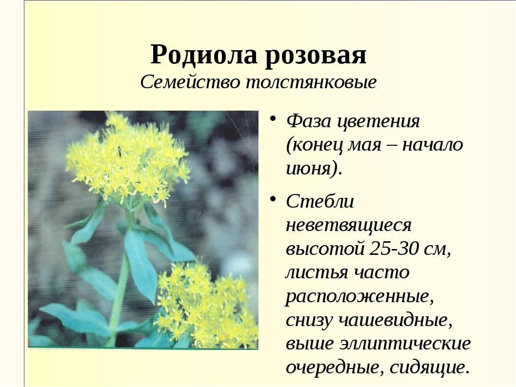 Родиола розовая Семейство толстянковые Фаза цветения (конец мая – начало июня...