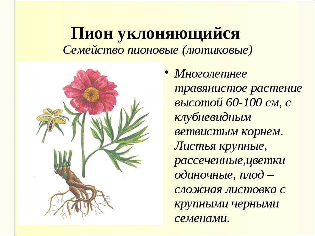 Пион уклоняющийся Семейство пионовые (лютиковые) Многолетнее травянистое раст...