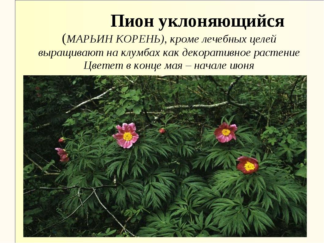 Пион уклоняющийся (МАРЬИН КОРЕНЬ), кроме лечебных целей выращивают на клумба...