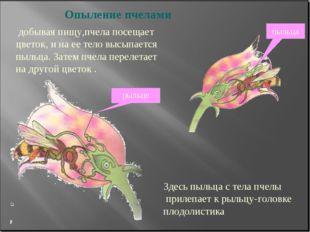 Опыление пчелами добывая пищу,пчела посещает цветок, и на ее тело высыпается