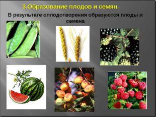 В результате оплодотворения образуются плоды и семена 3.Образование плодов и