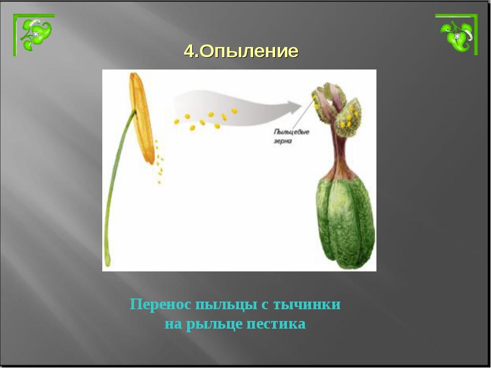 4.Опыление Перенос пыльцы с тычинки на рыльце пестика