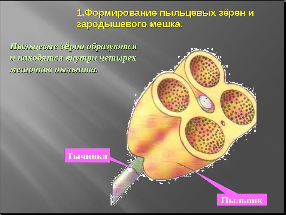 1.Формирование пыльцевых зёрен и зародышевого мешка. Пыльцевые зёрна образуют...
