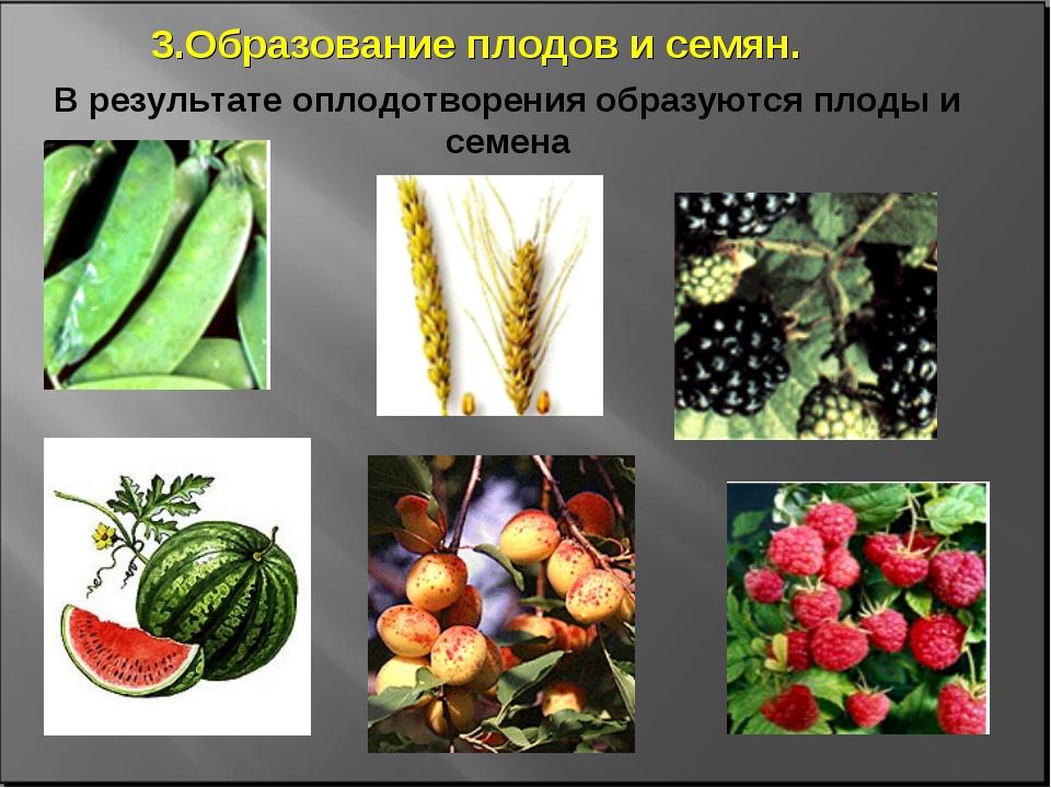 В результате оплодотворения образуются плоды и семена 3.Образование плодов и...