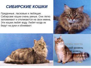 СИБИРСКИЕ КОШКИ Преданные, ласковые и любящие . Сибирские кошки очень умные.